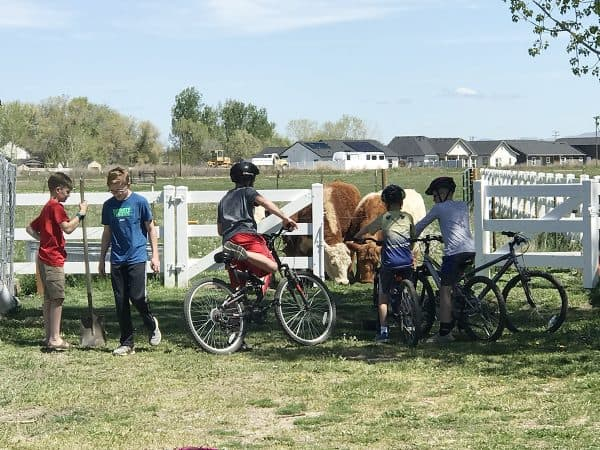 boys riding bikes with helmets and cows eating grass