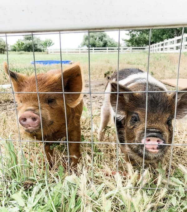 two kunekune pigs by fence