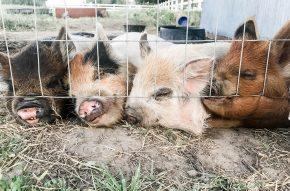 four kunekune pigs
