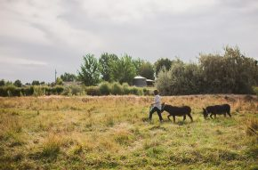 woman walking two miniature donkeys in pasture