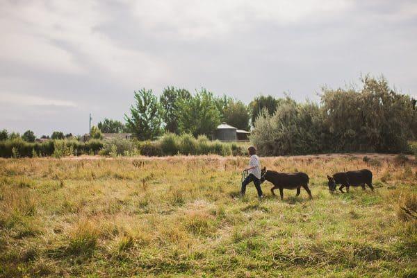 woman walking two miniature donkeys in pasture