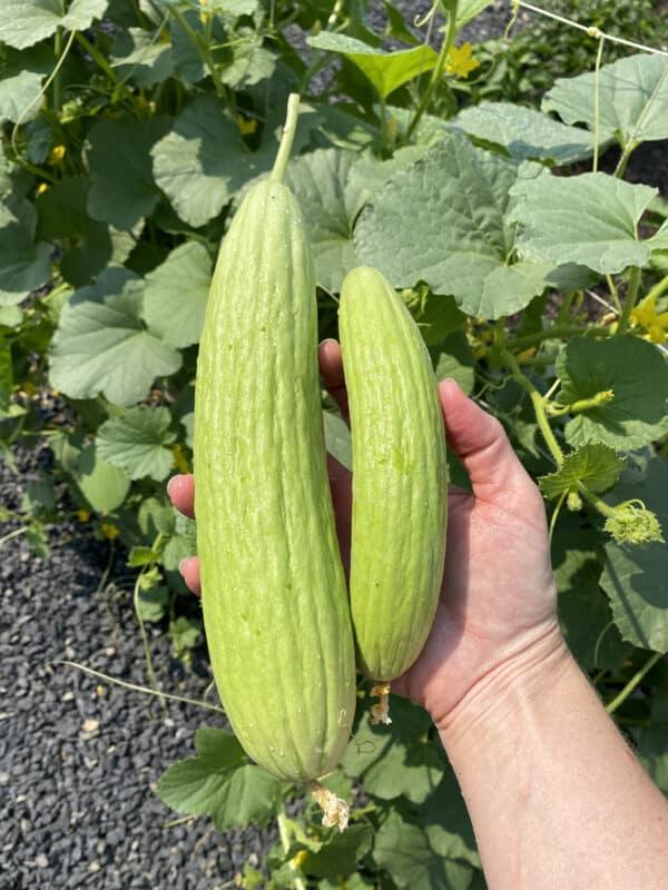two armenian cucumbers