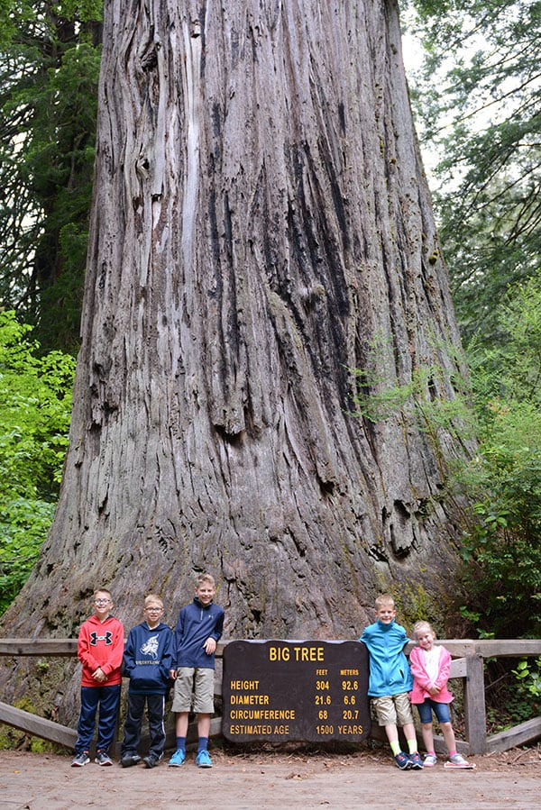 Big Tree at Prairie Creek State Park