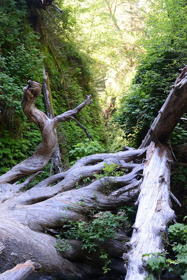 Fern Canyon Redwoods